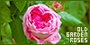 Roses: Old Garden:
