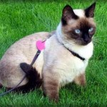 Siamese Cat Fanlisting